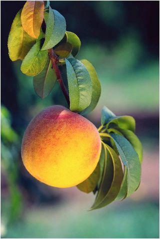 Georgia-peach